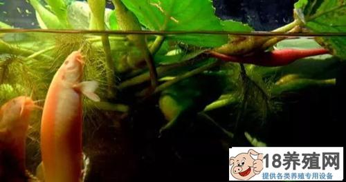 泥鳅池套种菱角效益好