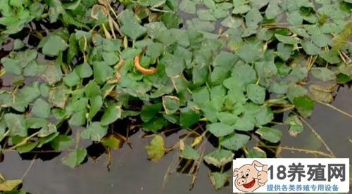 泥鳅池套种菱角效益好(2)