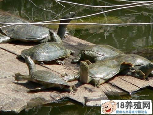 甲鱼养殖技术大全(3)