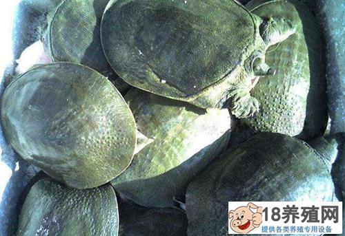 甲鱼养殖技术大全(2)