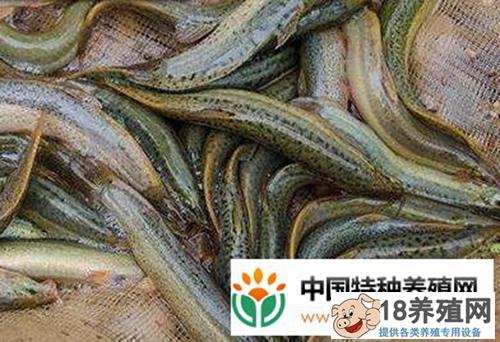 """湖北仙桃""""泥鳅哥""""罗方祥匠心养泥鳅每亩纯收入2万元"""