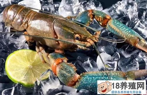 蓝色龙虾意外出现死亡,原因不明?乡土专家来支招