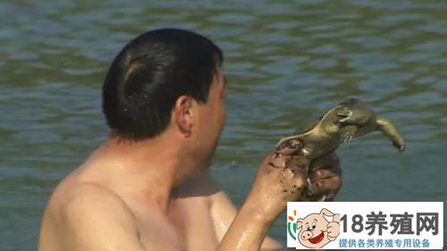 山东菏泽赫广武仿野生养殖黄河鳖年销千万元(2)