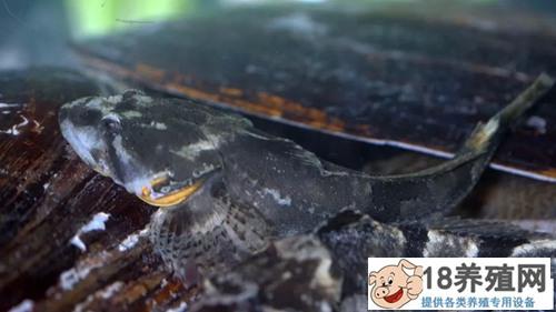 上海松江鲈鱼和黄浦江大闸蟹养殖探秘