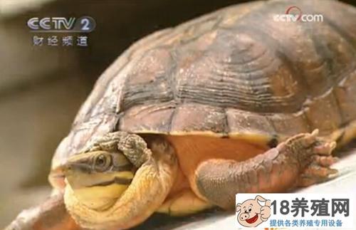 50万一只的金钱龟 马武松靠养龟发家致富