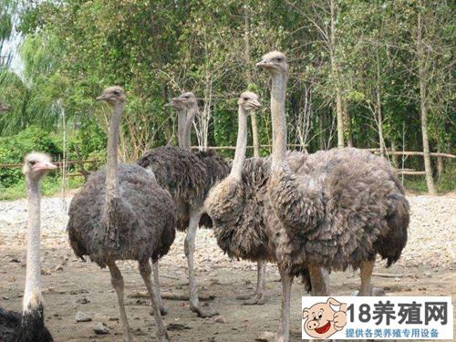 鸵鸟生活在什么地方?怎么人工养殖(2)