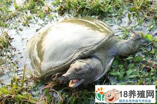 沙地里仿野生养殖的甲鱼300元一斤受欢迎