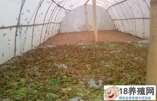 未来蝗虫养殖前景