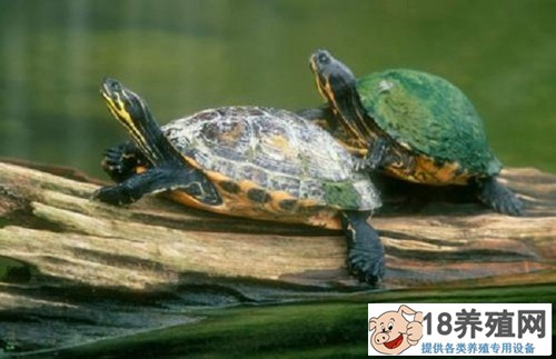 乌龟吃什么,怎么饲养?