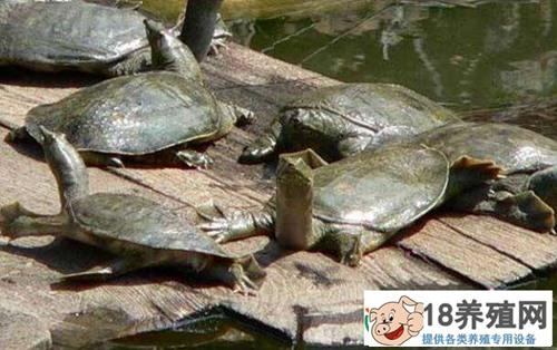 甲鱼的养殖技术(3)