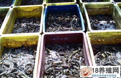 泥鳅网箱养殖技术的五个要点