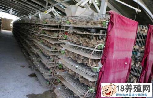 鹌鹑养殖大棚的养殖笼舍规格介绍