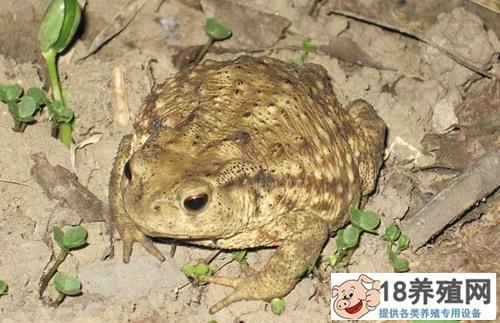 蟾蜍的养殖方法及繁殖技术(2)