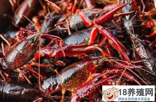 养小龙虾每亩净赚5000元!精打细算,完美避开五月瘟,秘诀是啥?
