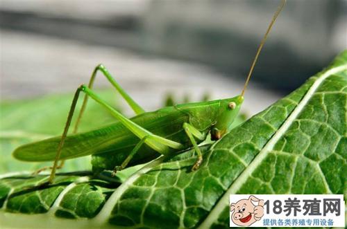 蝗虫是蚂蚱吗