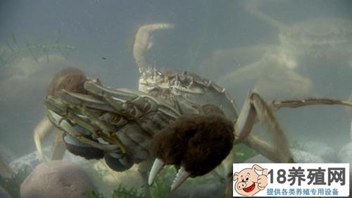 重庆武隆90后女孩樊霞山顶上养螃蟹年销600万