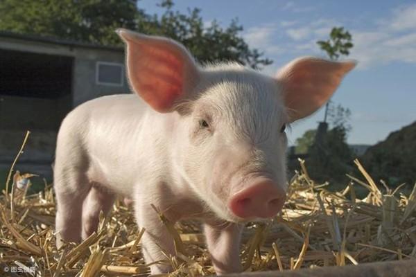 为什么猪在夏天容易减肥?猪在夏天怎么容易减肥?