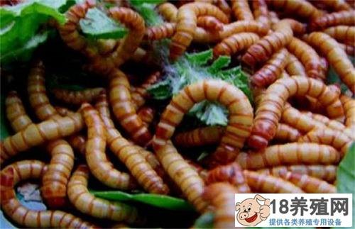 养殖黄粉虫的注意事项有哪些(2)