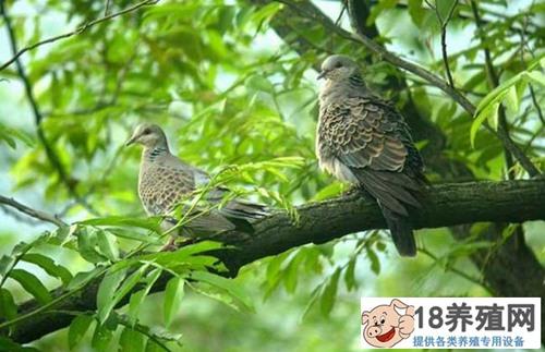 斑鸠能养殖吗?一年能繁殖几窝