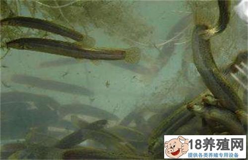 鱼缸养泥鳅怎么养 满足这些即可养