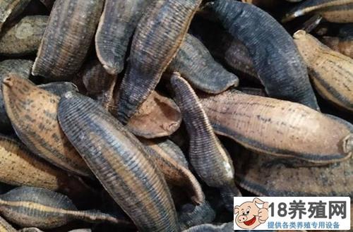 水蛭价格多少钱一斤,水蛭养殖前景怎么样?