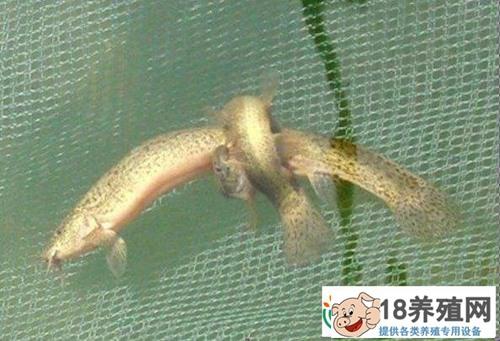 泥鳅吃什么食物养殖快