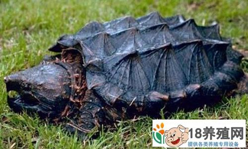 鳄龟养殖的现状及未来发展前景