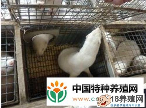 水貂饲养管理技术(3)