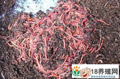 发酵牛粪养蚯蚓一亩收入2-3万元前景可观