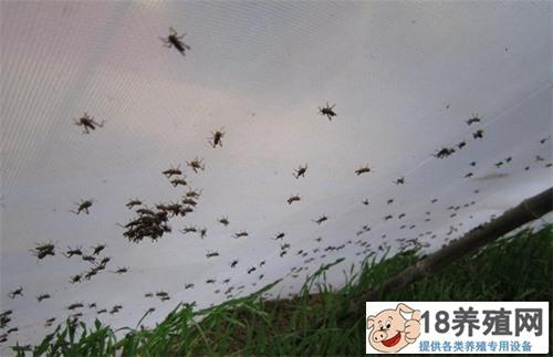 蝗虫该怎样饲养管理