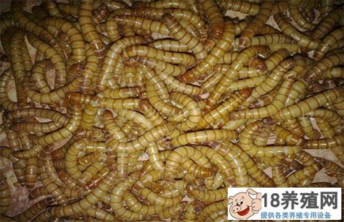 黄粉虫养殖应注意的问题