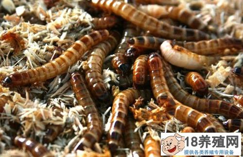 黄粉虫养殖应注意的问题(2)