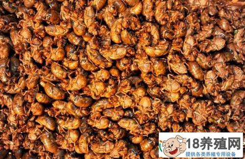 吃金蝉过敏怎么办?