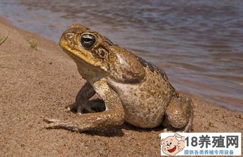 种蟾蜍的饲养要点与常见疾病