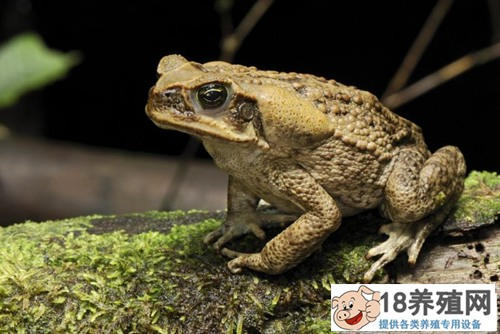 种蟾蜍的饲养要点与常见疾病(3)