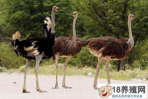 鸵鸟养殖基地建设方案(2)