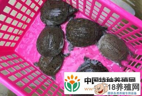 养殖甲鱼的利润和成本是多少?甲鱼养殖有前景吗?(3)
