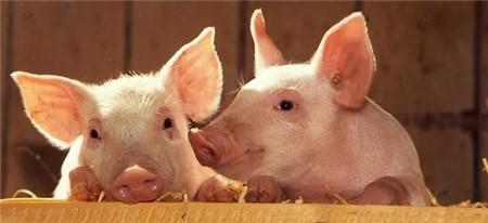 猪价反弹助推大猪消化。未来猪价会涨还是跌?