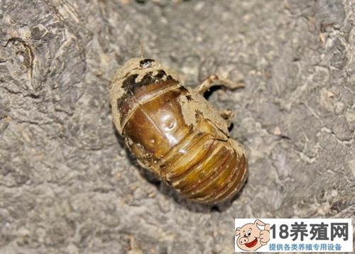 金蝉是怎么形成的?如何养殖(4)