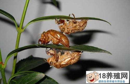 金蝉是怎么形成的?如何养殖(2)