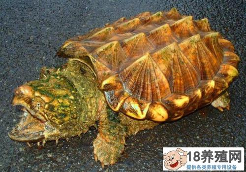 绍兴孙立恒养鳄龟的致富秘笈