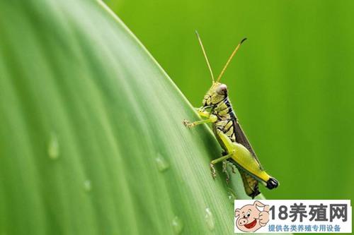 蚂蚱人工养殖方法