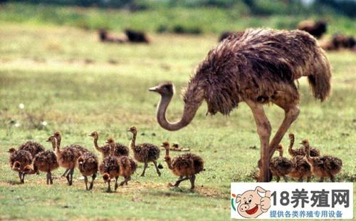 不同生长阶段的鸵鸟饲养管理