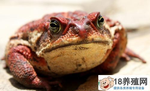 吃牛蛙有什么营养价值?