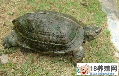 亚洲巨龟的养殖方法