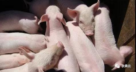 【养猪场管理】目前采购的仔猪应该做好哪些方面?一切都不能忽视