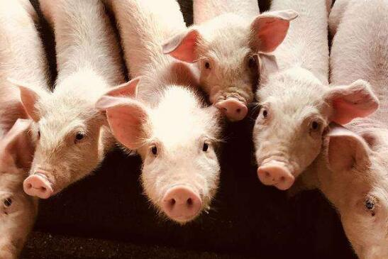提高价格,稳定生猪供应。开始是好的