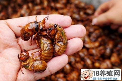 新型芦笋金蝉养殖骗局(2)