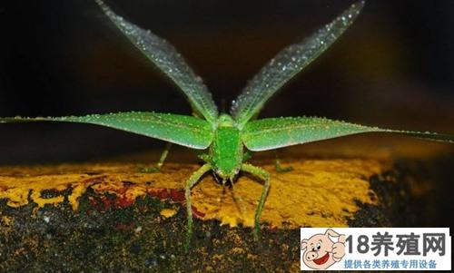 蝗虫养殖技术