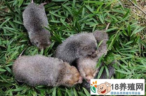 仿野生养殖竹鼠前景广阔每只能卖300多元